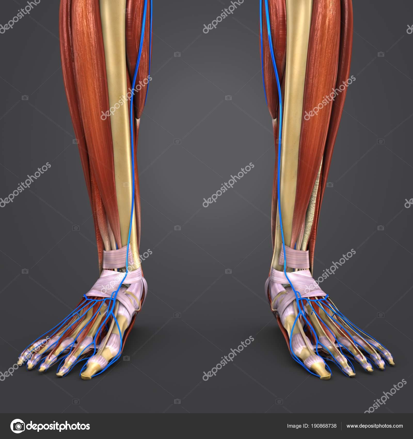 Colorida Ilustración Médica Huesos Con Las Venas Los Músculos Pierna ...