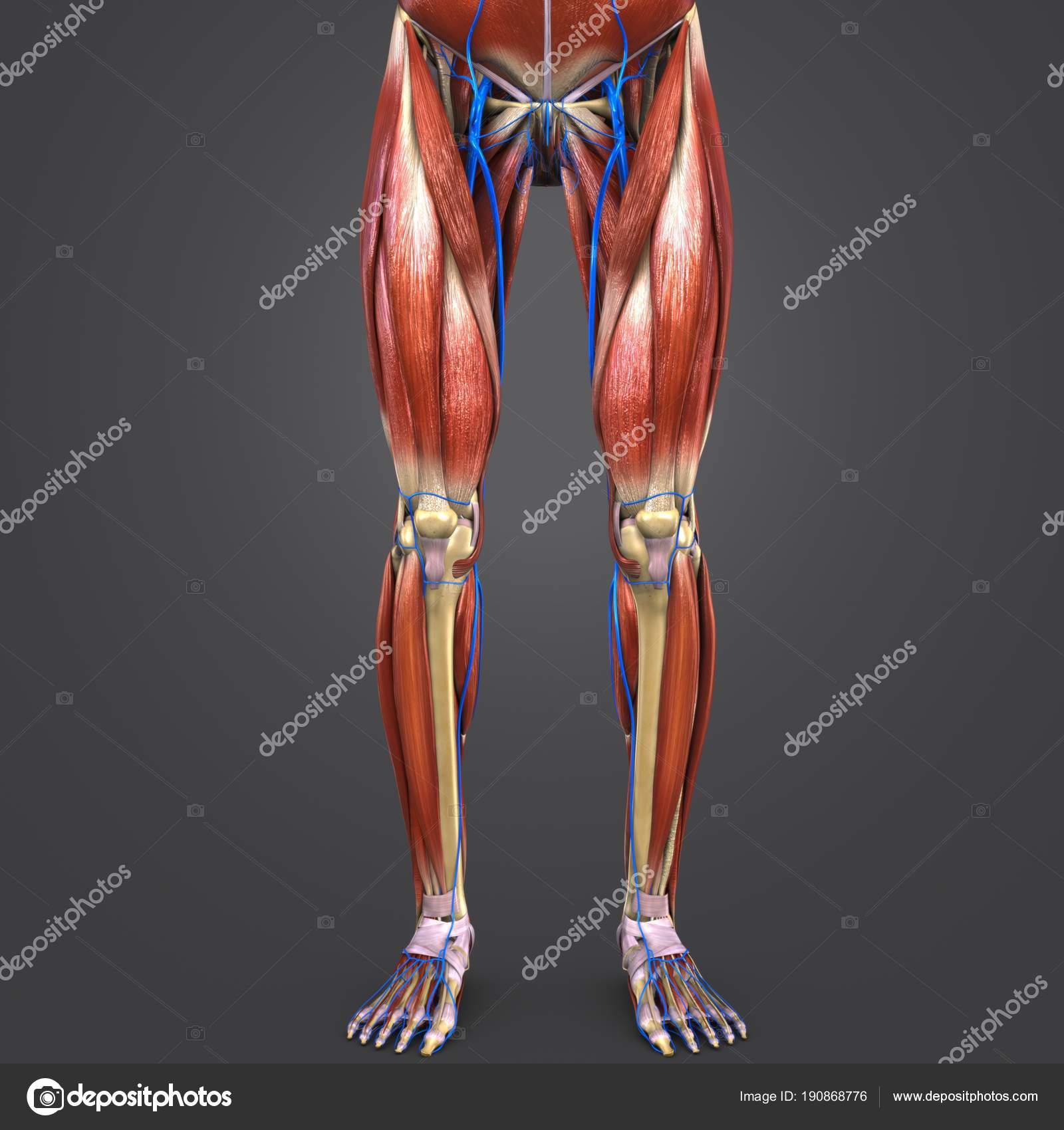 Colorida Ilustración Médica Humanas Miembros Inferiores Con Venas ...