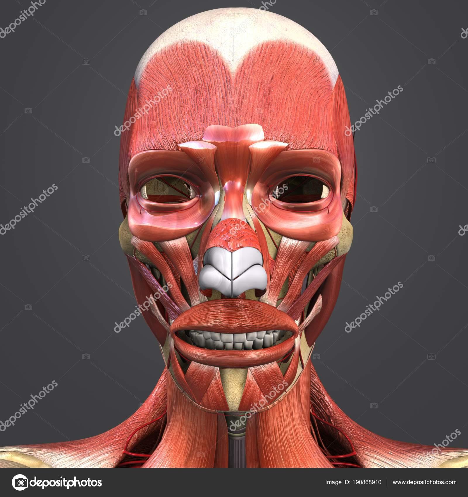 Bunte Medizinische Illustration Des Menschlichen Gesichts Muskeln ...