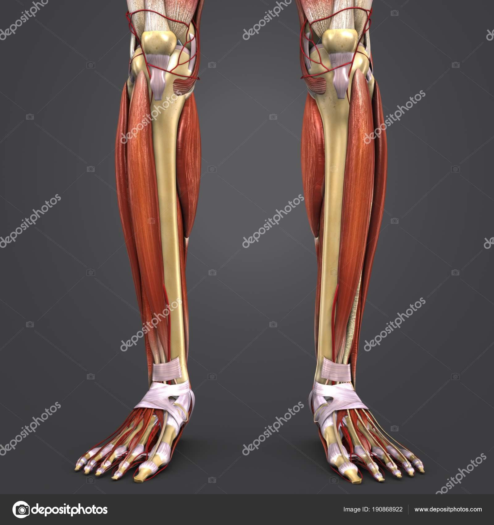 Colorida Ilustración Médica Huesos Con Las Arterias Los Músculos ...