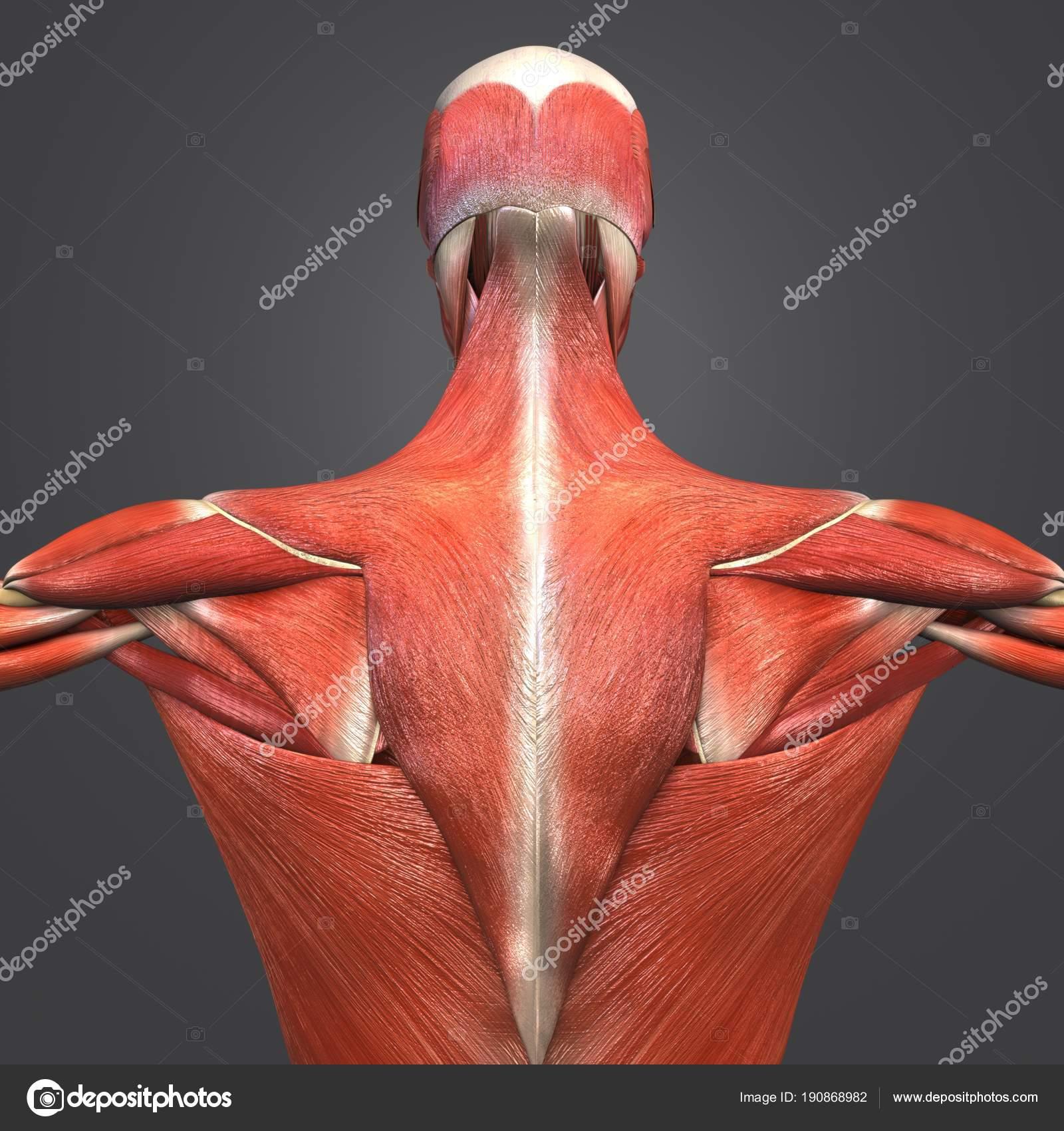 Colorida Ilustración Médica Anatomía Muscular Esquelética Con ...