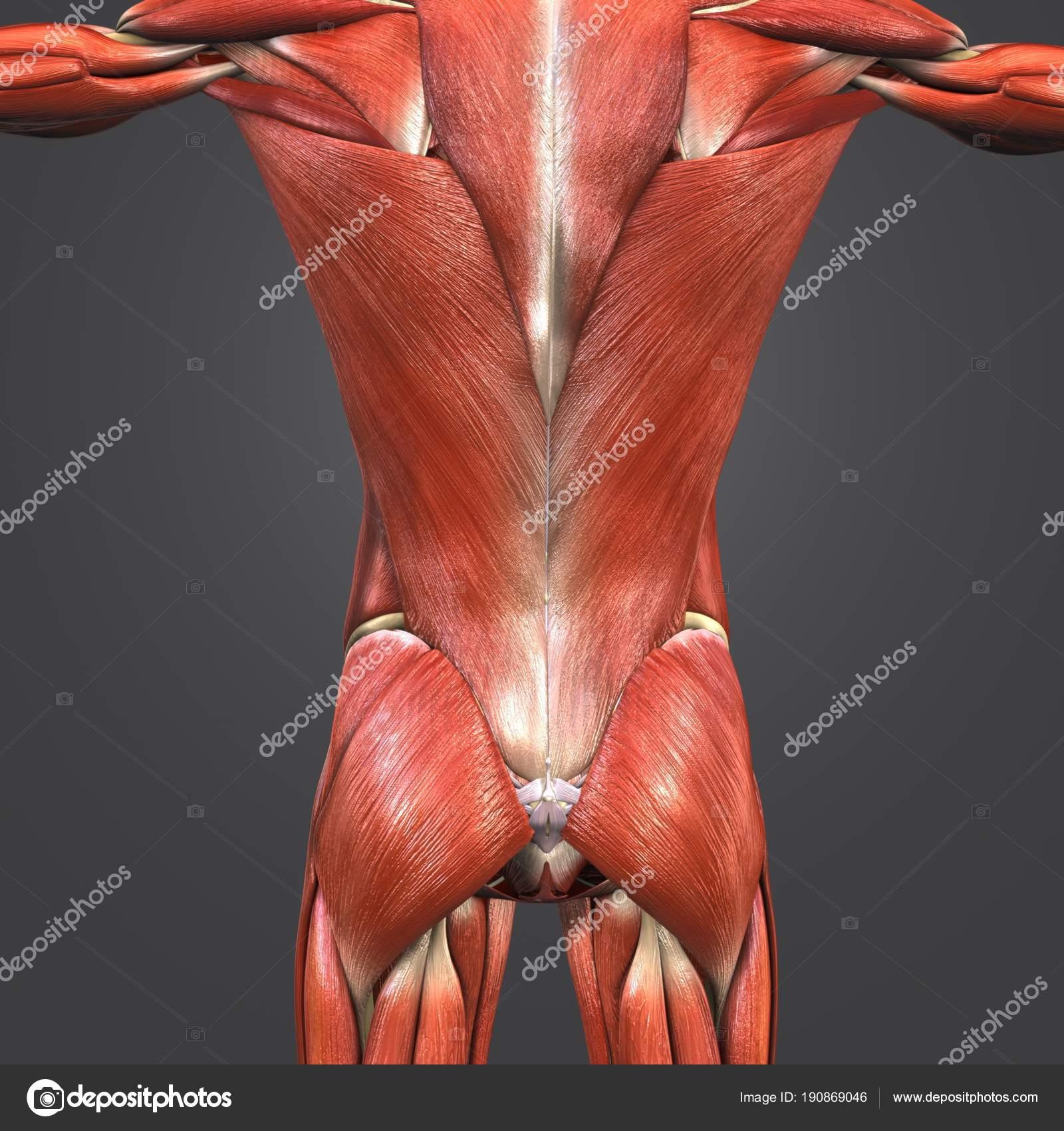 Bunte Medizinische Illustration Des Menschlichen Muskeln Und Knochen ...