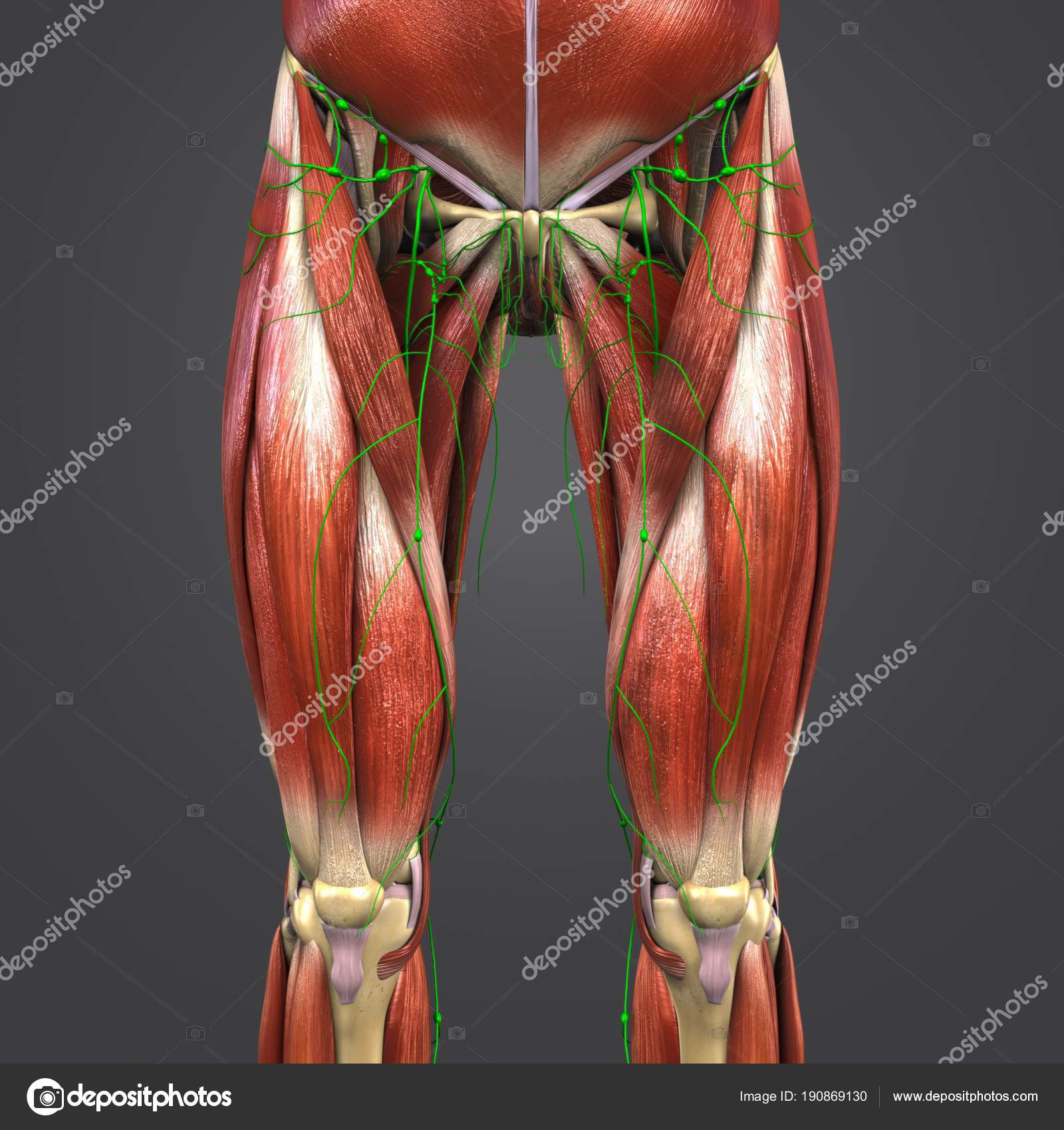 Colorida Ilustración Médica Humanas Caderas Muslos Los Músculos ...