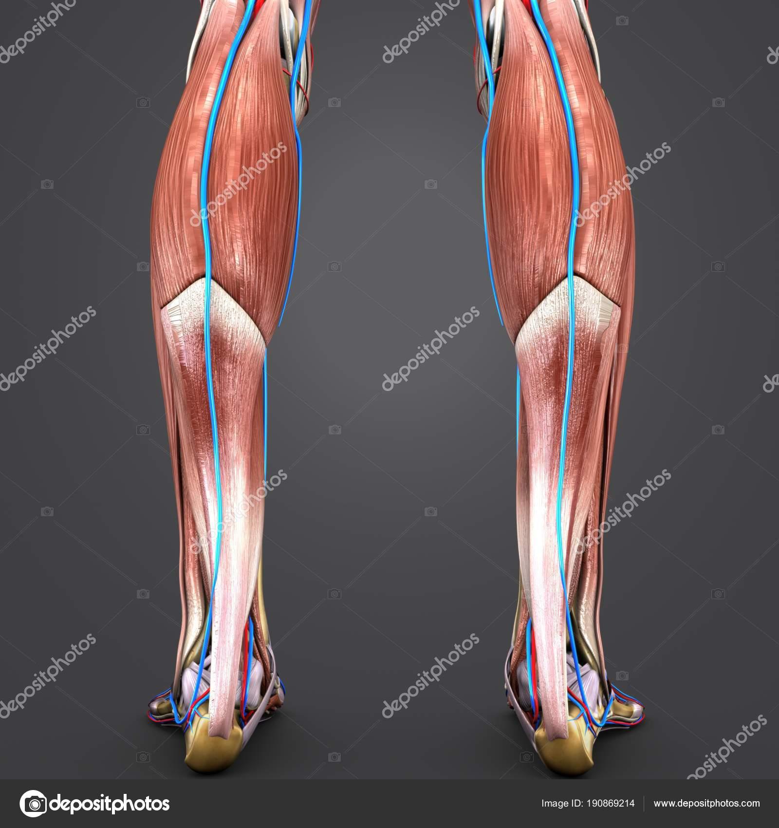 Único Los Huesos De Las Piernas Componente - Anatomía de Las ...