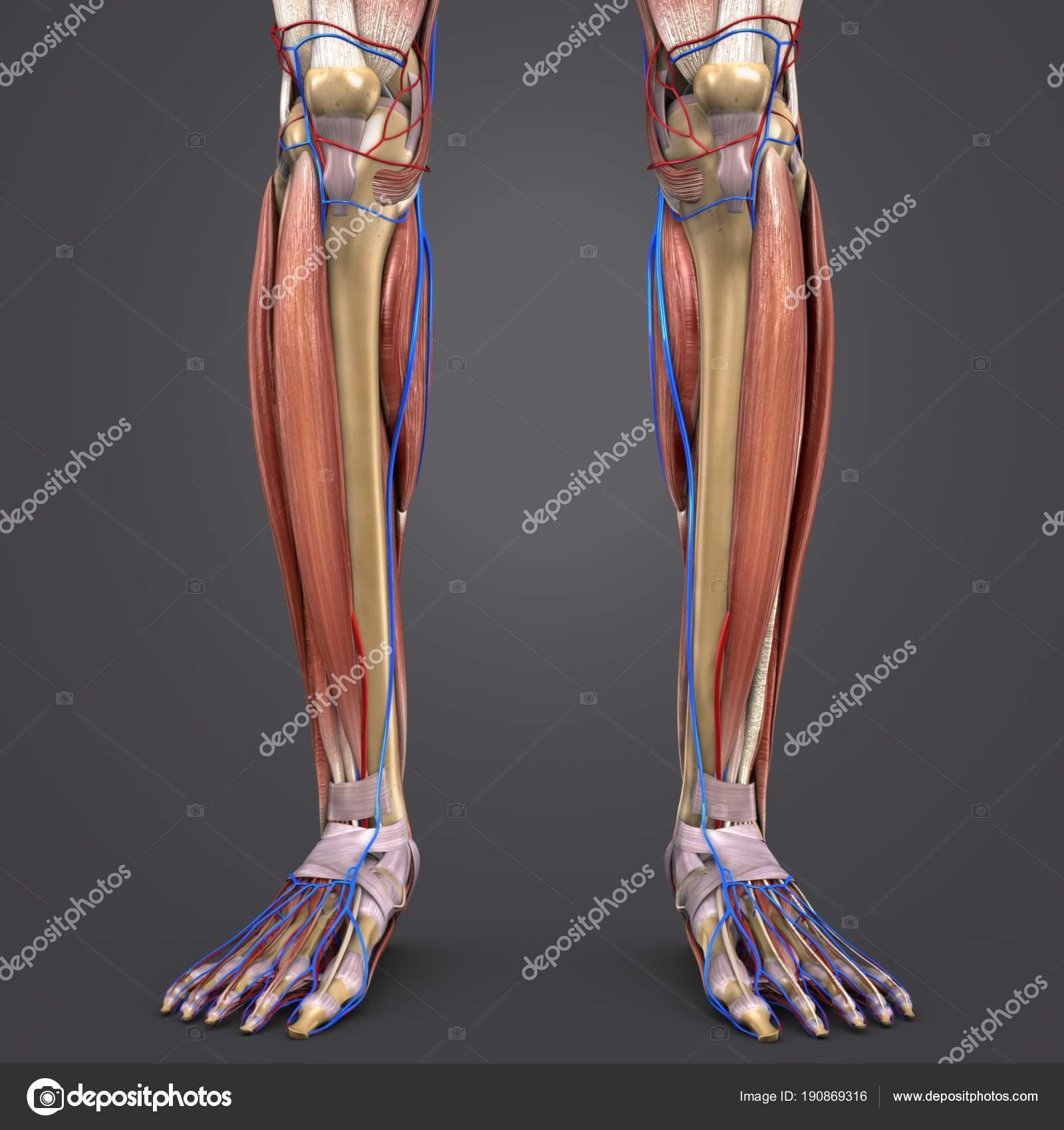 Bunte Medizinische Illustration Des Menschlichen Beinmuskeln Und ...