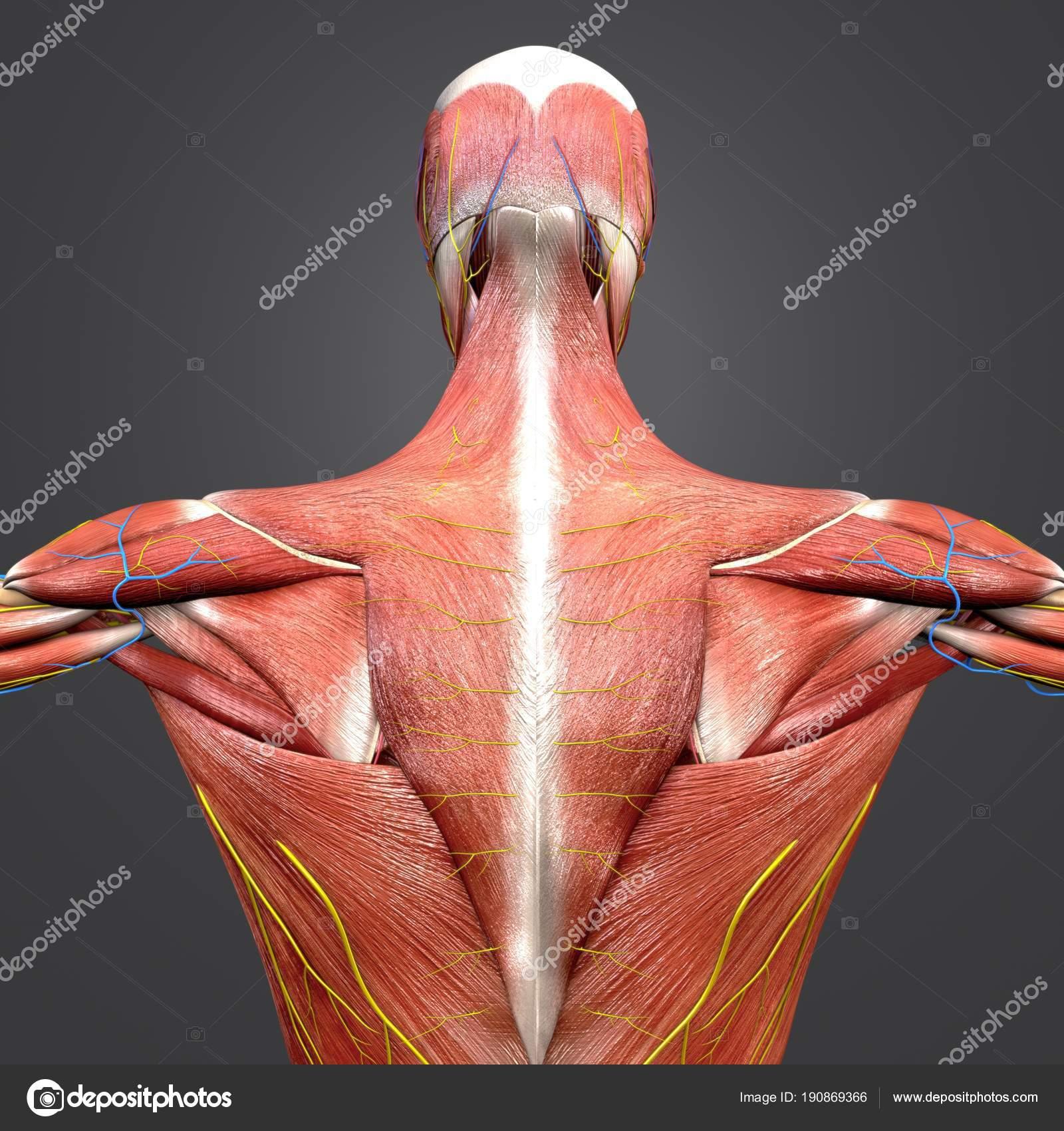 Bunte Medizinische Illustration Des Menschlichen Muskel Und Skelett ...