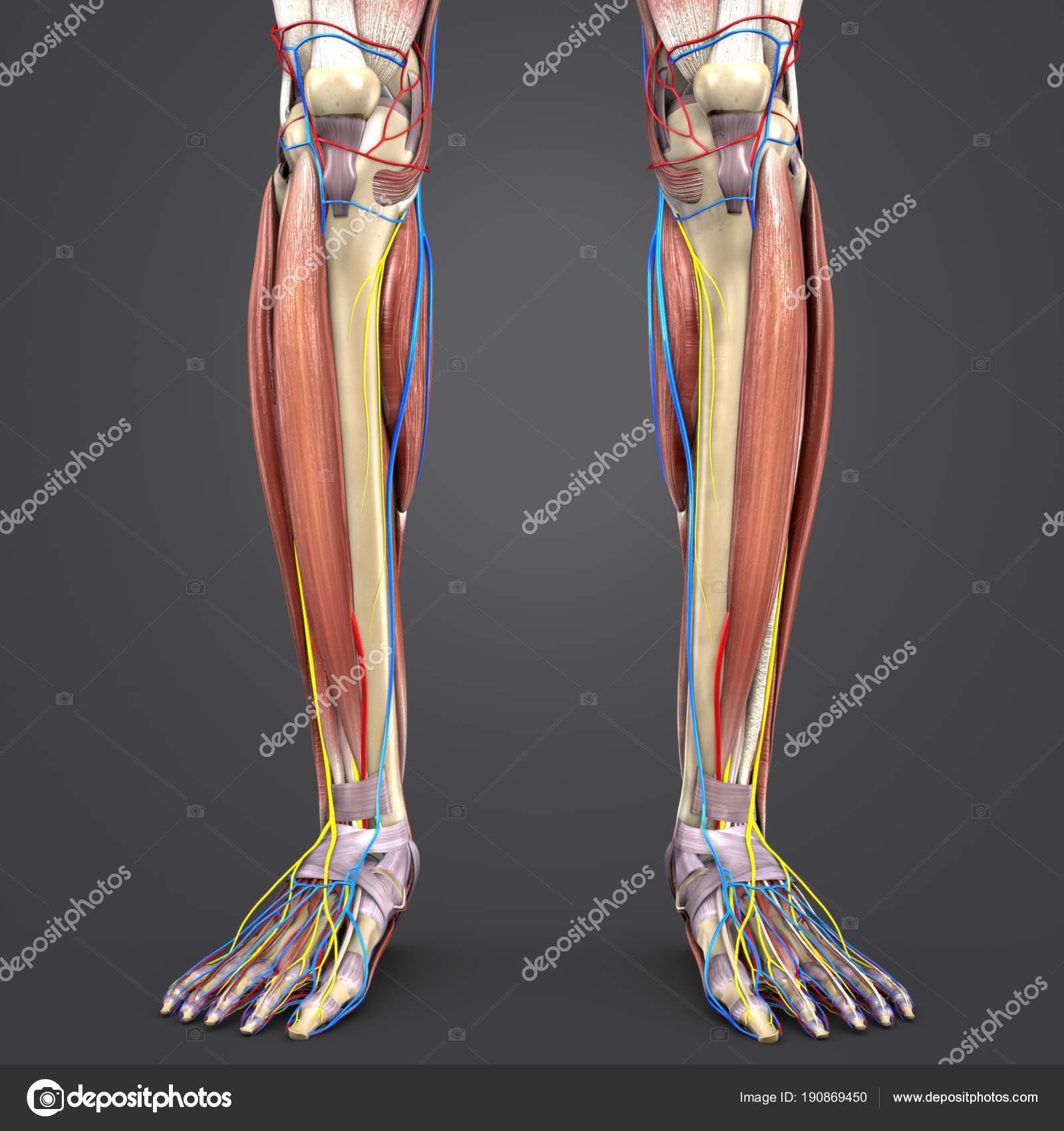 Pierna musculos de huesos y