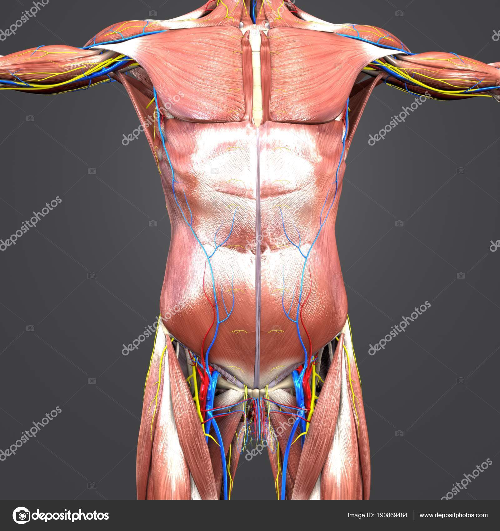 Bunte Medizinische Illustration Des Menschlichen Oberen Anatomie ...
