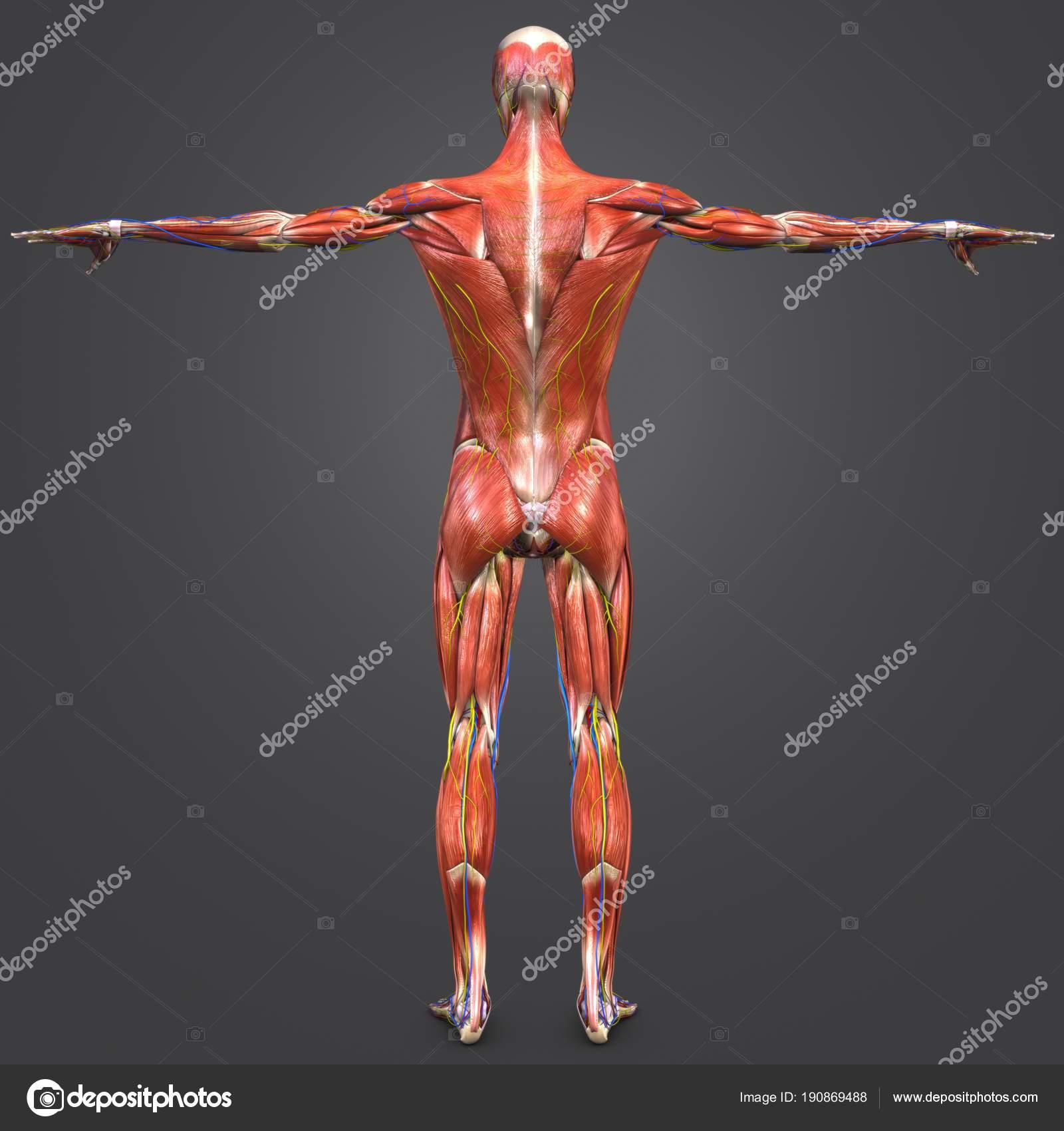 Colorida Ilustración Médica Anatomía Muscular Esquelética Sistema ...