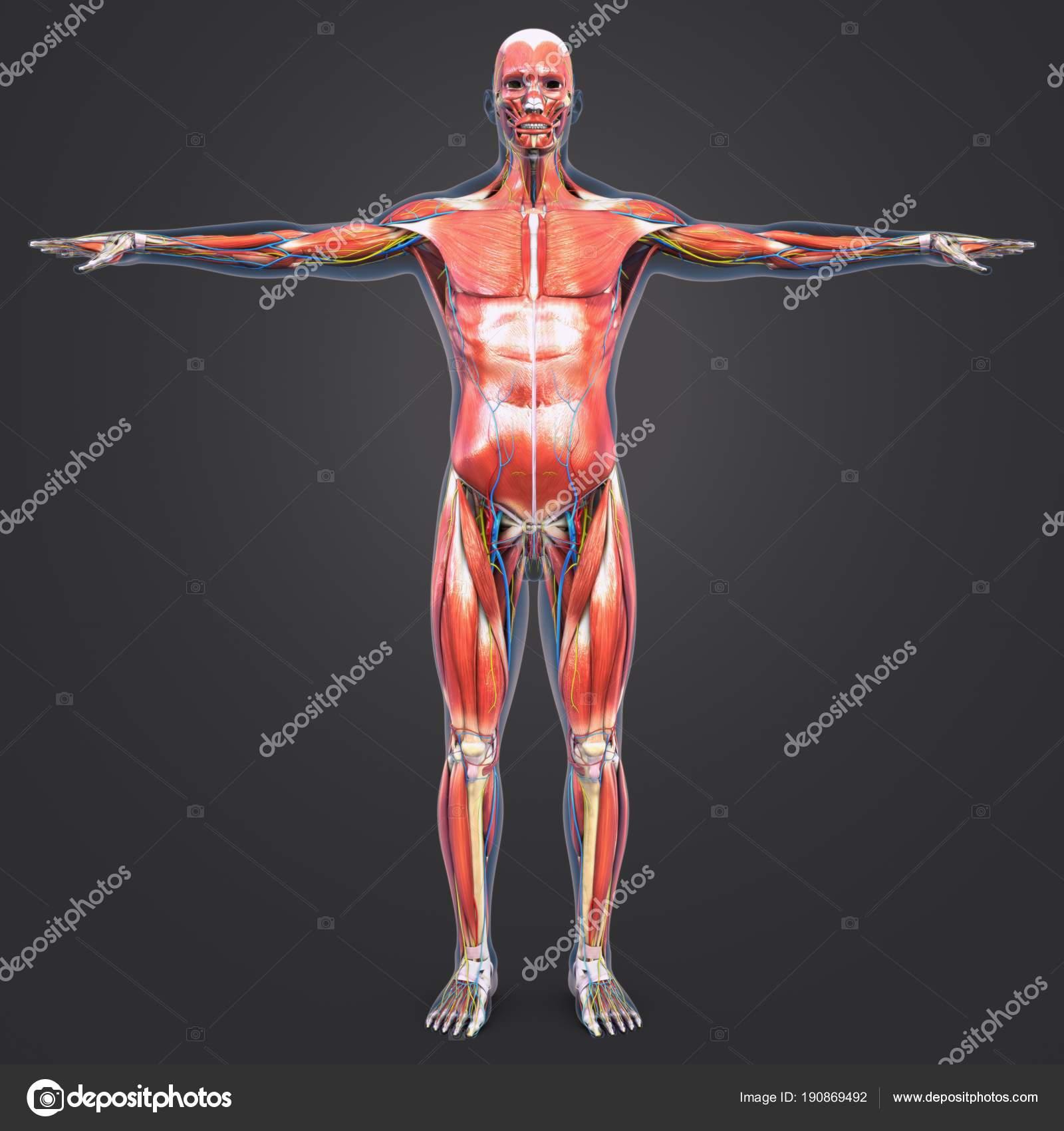 Colorida Ilustración Médica Muscular Humana Anatomía Esquelética Con ...
