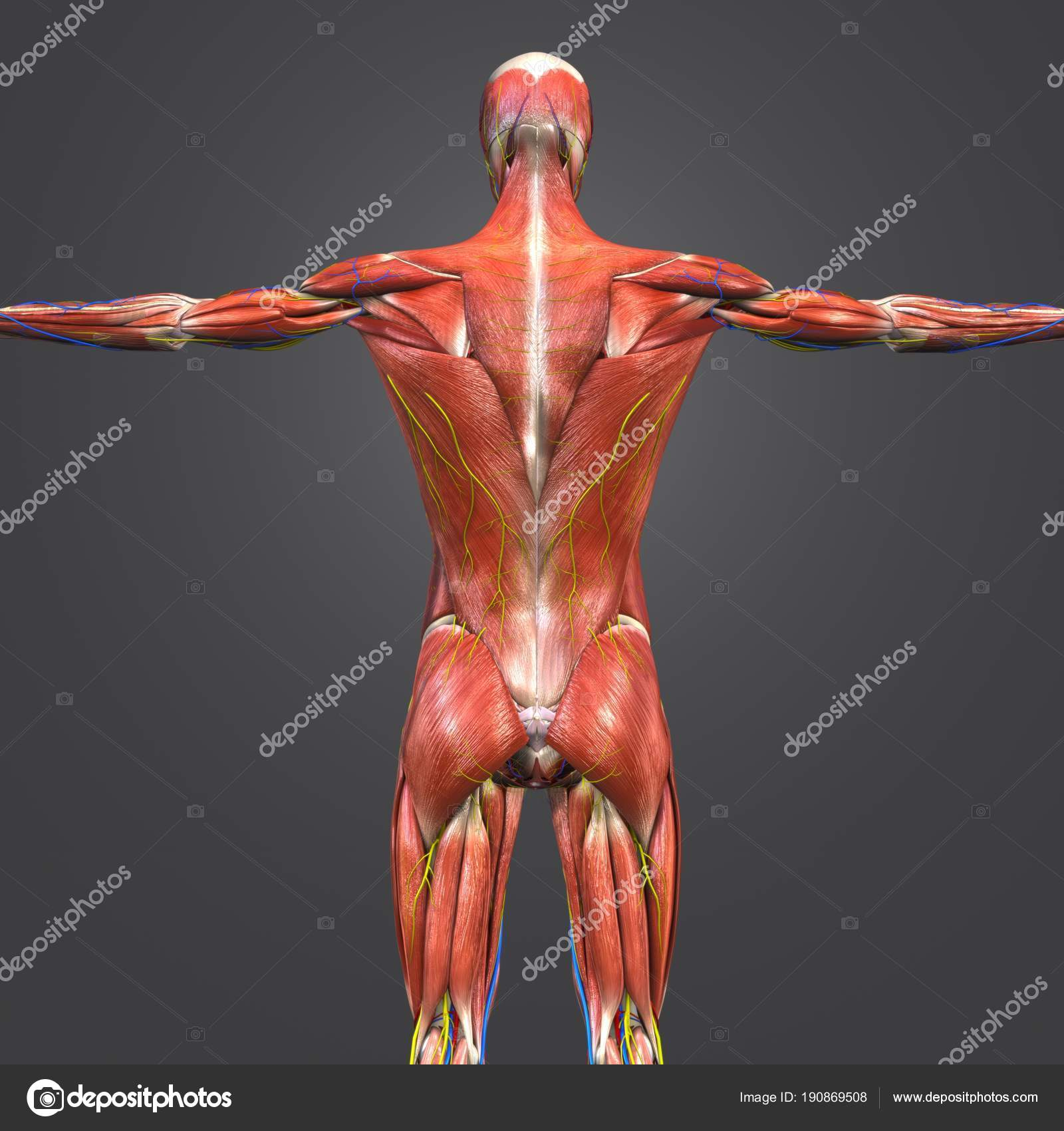 Colorful Medical Illustration Human Muscular Skeletal Anatomy