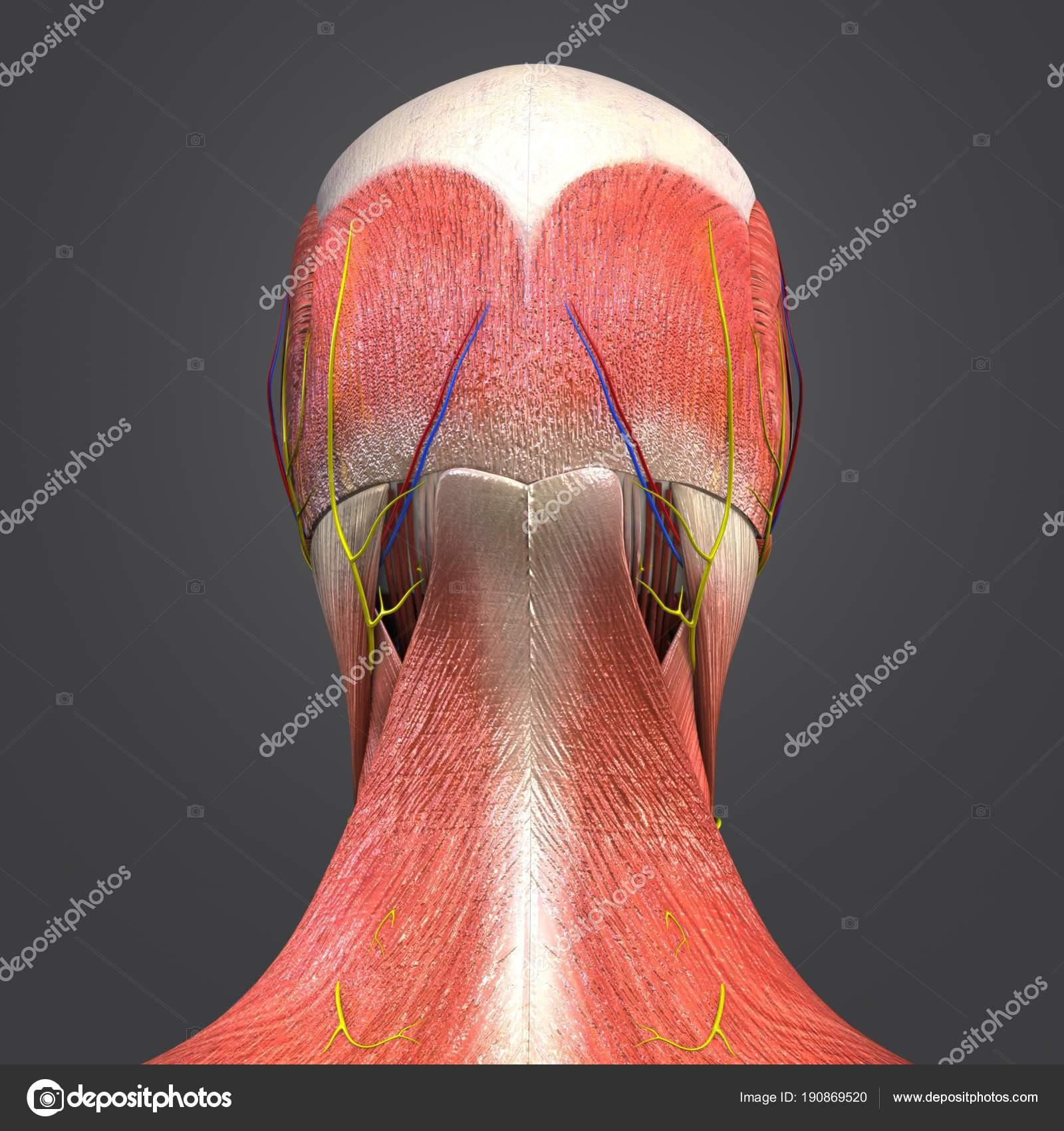 Bunte Medizinische Illustration Des Menschlichen Kopf Muskeln Und ...