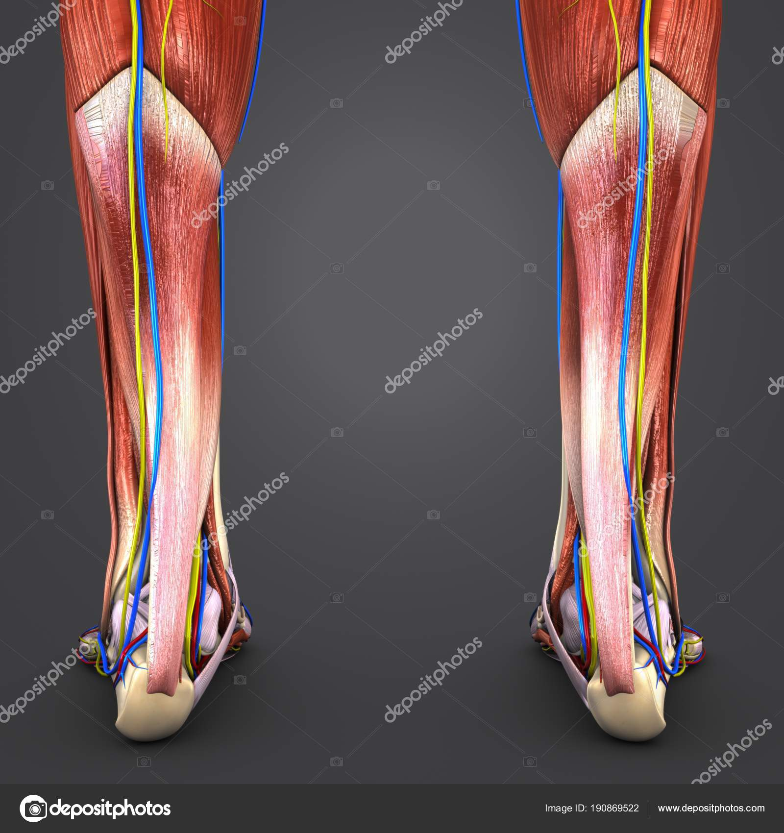Colorful Medical Illustration Human Muscles Bones Legs Circulatory