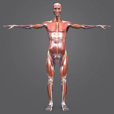 Colorful Medical Illustration of Human Muscular and Skeletal Anatomy with Circulatory System and Nerves