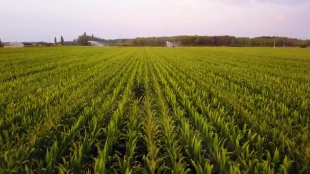 Letecký pohled na kukuřičných polích zavlažovanou centrum pivot systému na farmě kukuřice velkém měřítku. Hukot leteckých záběrů 4k