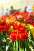 Tulipán virágoskert