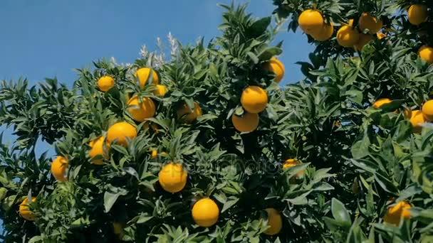 SLOW MOTION: ripe and juicy orange fruits hang on an orange tree.