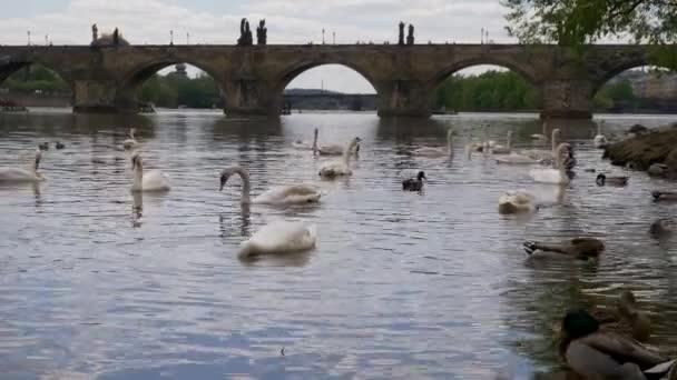 Charles Bridge v Praze a Labuti, kachna. na řece Vltavě