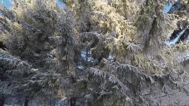 Fir branches covered with frost winter day