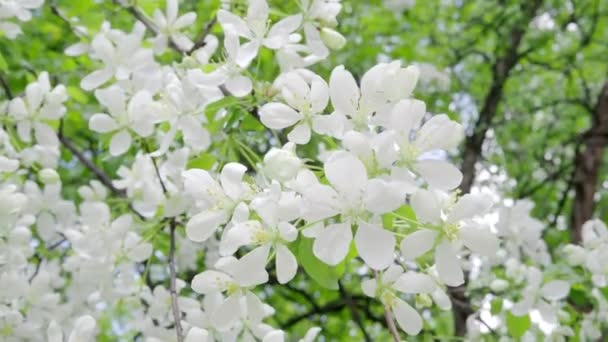 Bílé květy kvetou na větvích jabloní. 4k