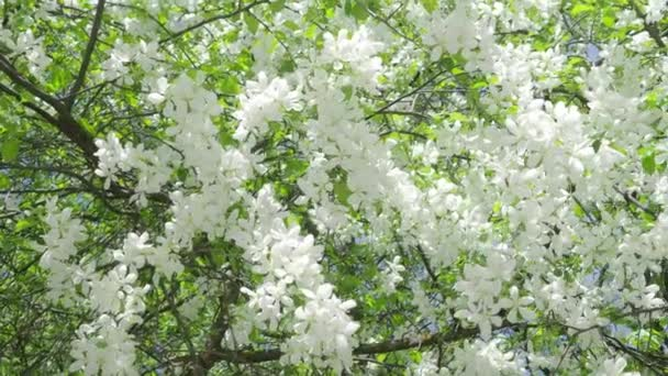 Beautiful white flowers of apple trees on the branches sway in the beautiful white flowers of apple trees on the branches sway in the wind in the park mightylinksfo Images