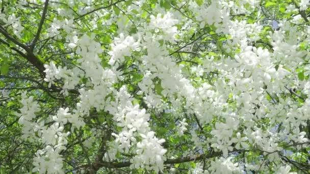 Krásné bílé květy jabloní na větvích houpat se ve větru v parku v jarní odpoledne. 4k