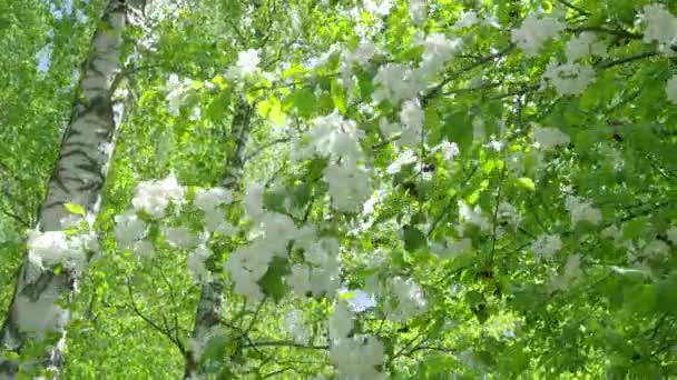 4k Blossoming Apple Tree White Flowers In The Spring In The Spring