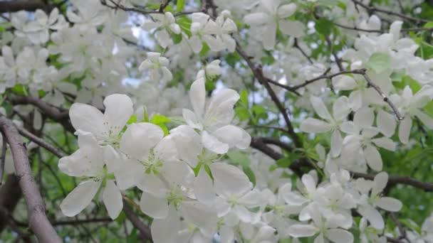 White flowers of an apple-tree in nature on a spring day