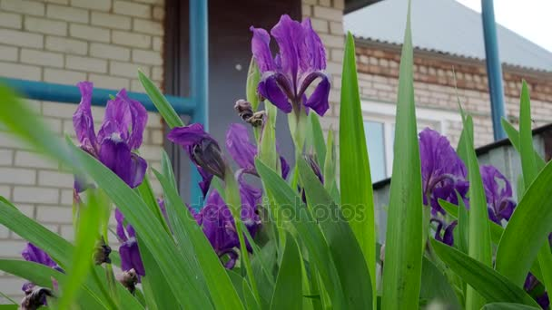 Beautiful violet flowers of irises in nature on a summer day. 4K