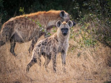 Spotted hyena or laughing hyena (Crocuta crocuta) juvenile with an adult in the background. Mpumalanga. South Africa.