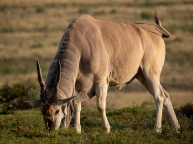 Common eland (Taurotragus oryx), also known as the southern eland or eland antelope. Eastern Cape. South Africa