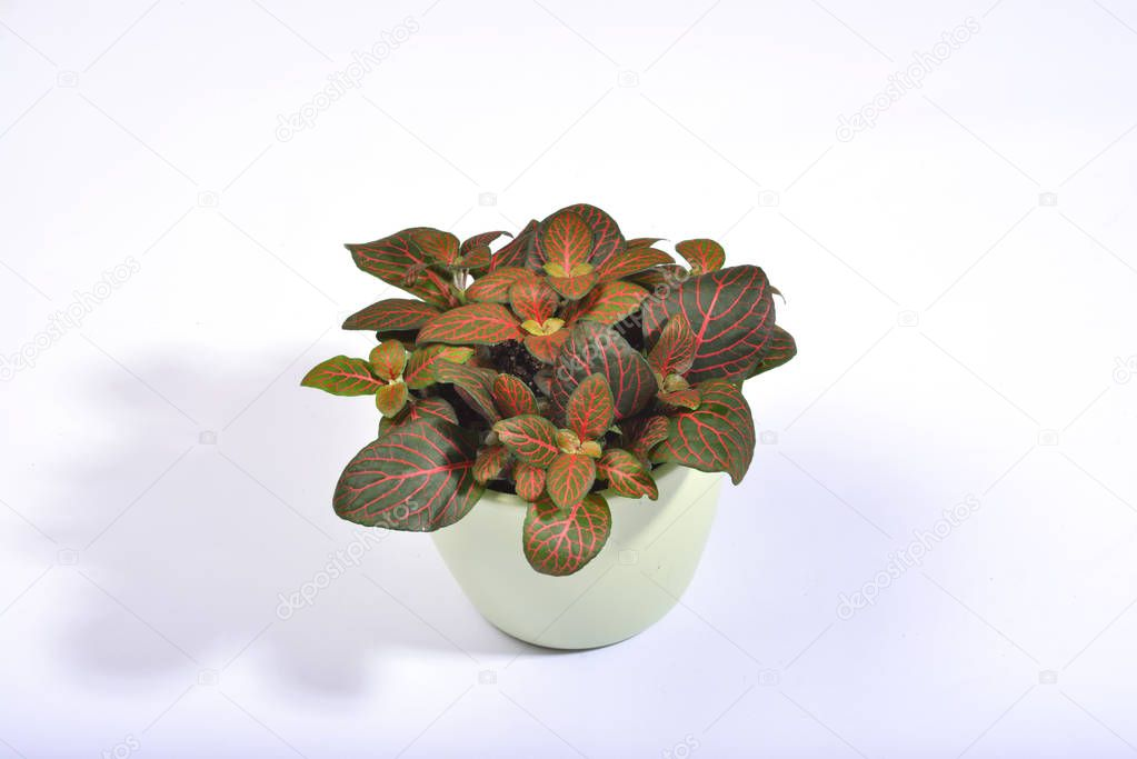 A dark green fittonia