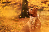 Autumn portrait of a beautiful rhodesian ridgeback
