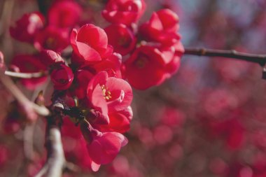 Chaenomeles japonica red flowers blooming in the end of winter