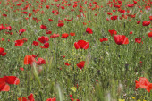 Red poppy flowers closeup view