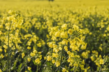 Rapeseed plantation with yellow flowers