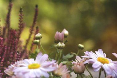 aster flowers and buds