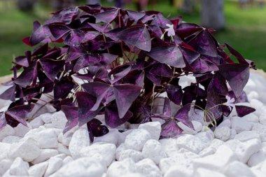 purple flower with gray stones, texture, background, landscape design