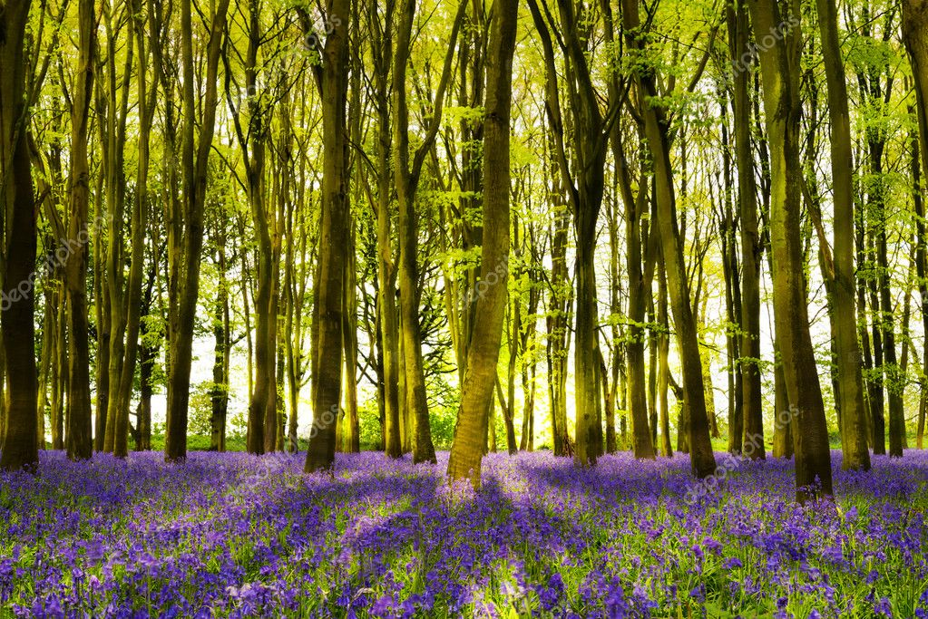 Фотообои Sunshine streams through beech trees in bluebell woods of Oxford