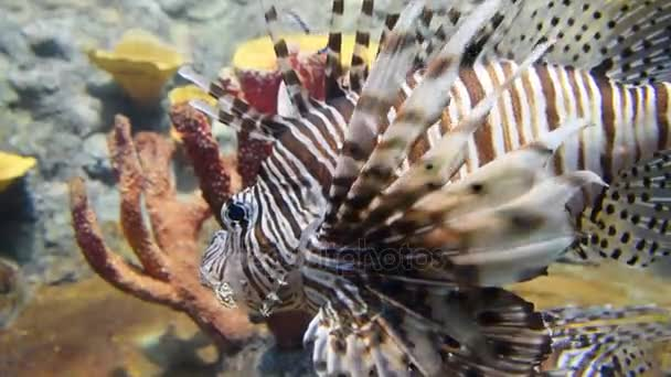 Lionfish. Wild life animal.