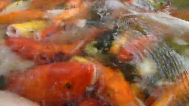 Barevné ozdobný kapr fish