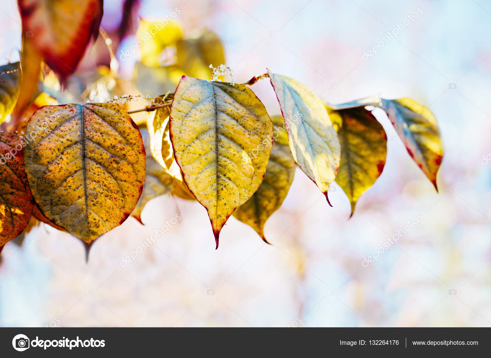 Beautiful Close Up Image Shot With Colorful Yellow Red Autumn Fall Leaves On Tree Branches Fall Season Card Wallpaper Textured Background Copyspace For Text Stock Photo C Anoushkatoronto 132264176