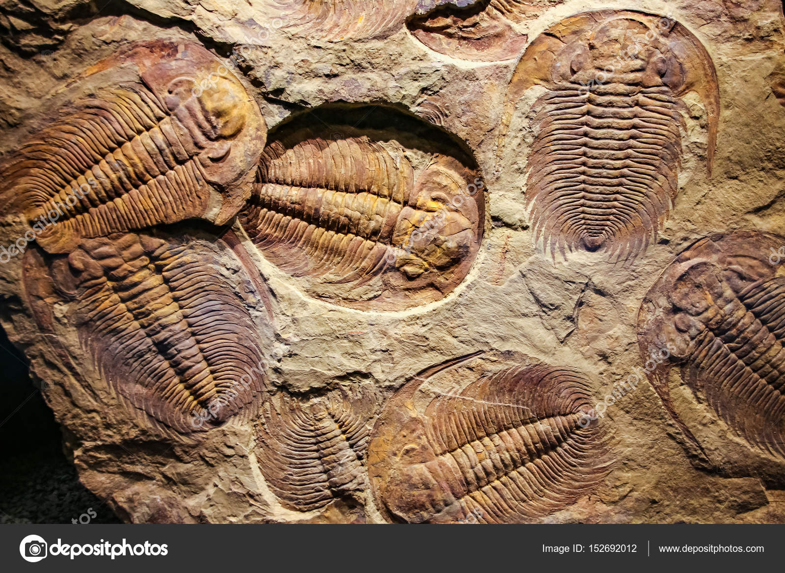 fossilen Trilobiten in das Sediment eingeprägt — Stockfoto ...