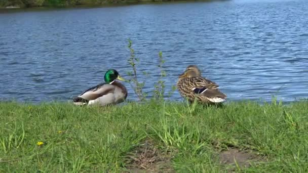 A couple of ducks on the river bank in the summer.