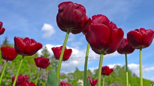 Kvetoucí červené tulipány na pozadí modré oblohy, detailní tulipánů ve větru