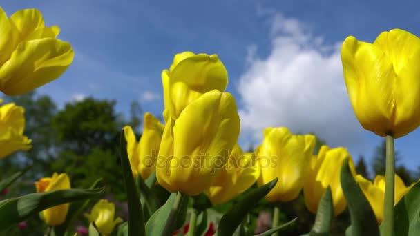Kvetoucí žluté tulipány na pozadí modré oblohy, detailní tulipánů ve větru
