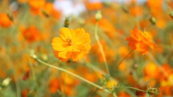 Close up orange Cosmos flowers
