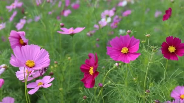 Close up Cosmos flowers in field