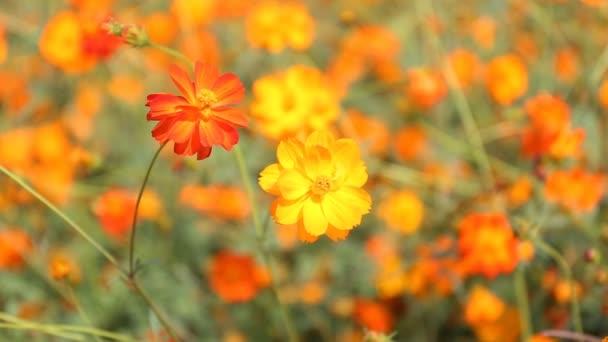 Close up orange Cosmos flowers