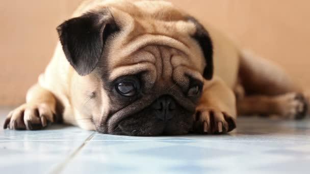 Vértes aranyos mopszli kutya az emeleten